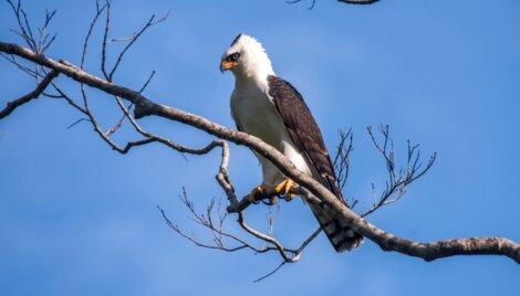 Uma águia-viúva empoleirada em uma árvore.