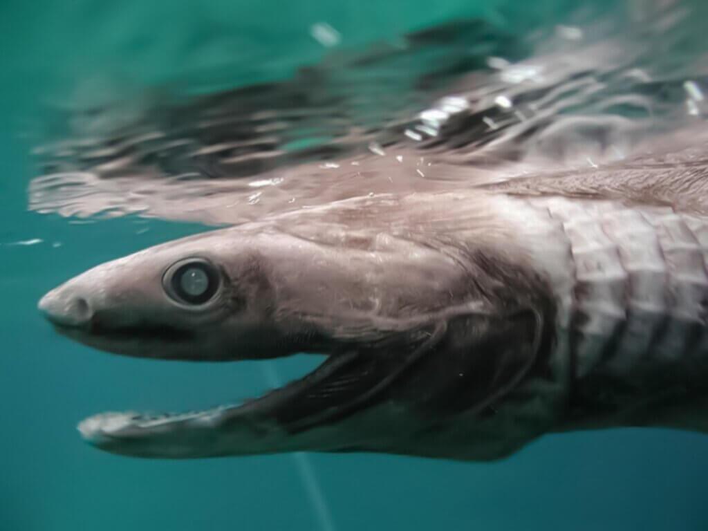 Tubarão-cobra: características, distribuição e alimentação