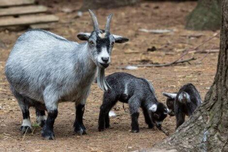 Uma cabra pigmeu.