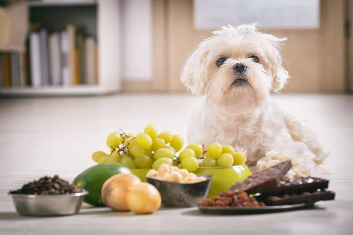 Alguns alimentos são tóxicos para os animais de estimação.
