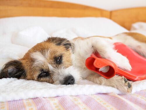 Sintomas da artrite em animais de estimação