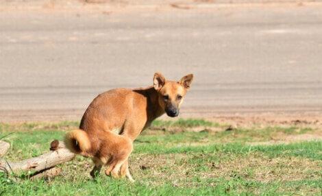 Cachorro com colite tem diarreia.