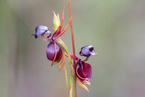 Uma orquídea pato voador.