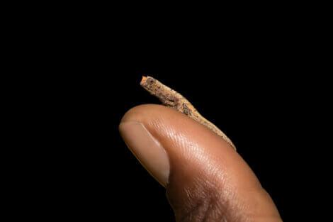 Camaleão Brokesia micra: um dos menores animais do mundo