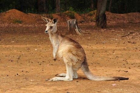 Os marsupiais da Austrália.