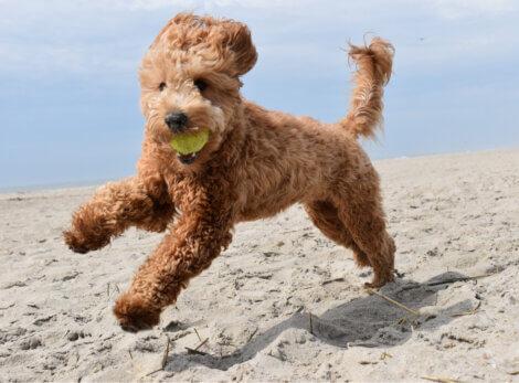 Um cão correndo na praia.