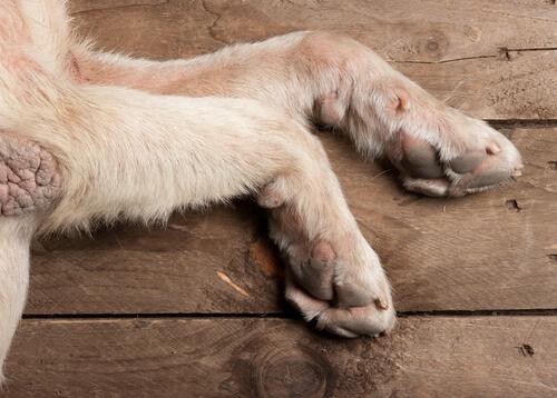 Calos nas patas dos cães: o que fazer?