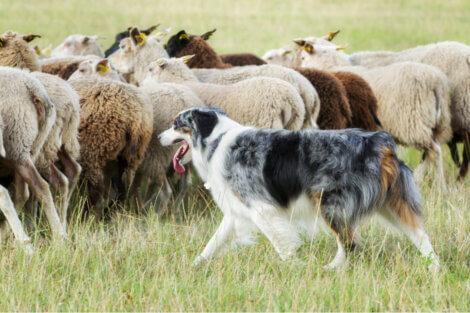 Cão-de-santo-humberto: o rastreador por excelência.