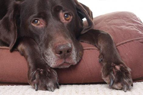 Cachorro com olhar triste na almofada.