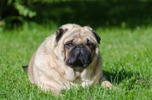 Cão com sobrepeso.