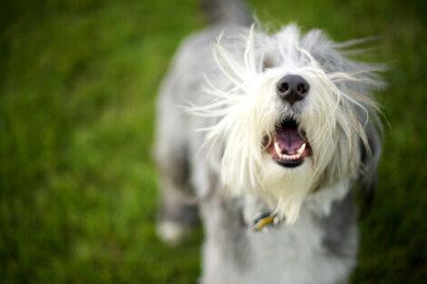 Um cachorro branco que está latindo.