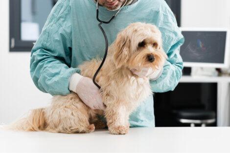 Um cachorro triste no veterinário.