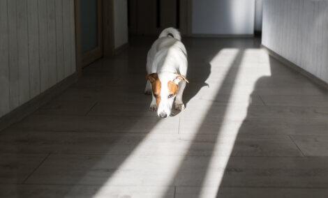 Um cachorro cheirando o chão de sua casa.