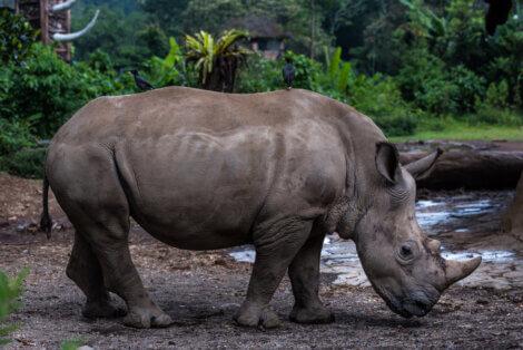 Corpo inteiro do rinoceronte-de-java.