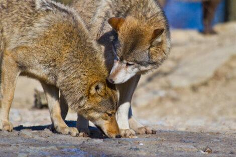 Dois espécimes de lobo-vermelho.