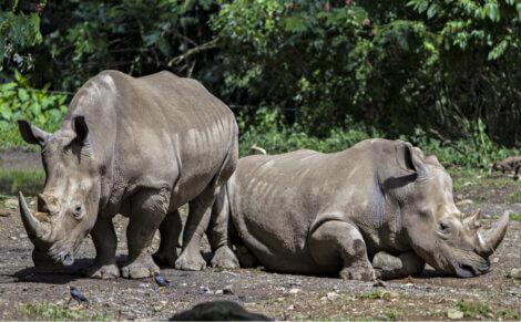 Dois indivíduos da espécie rinoceronte-de-java.