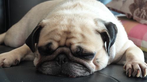 Por que os cachorros roncam?