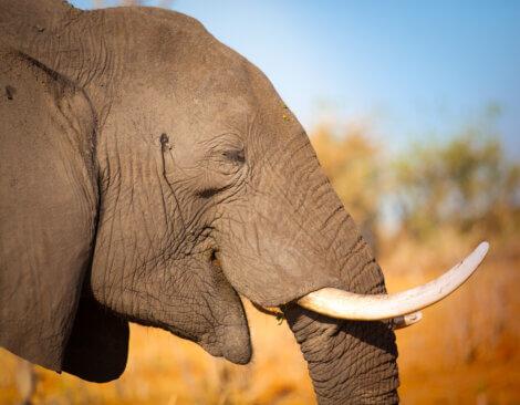 Proteja os elefantes da caça furtiva.
