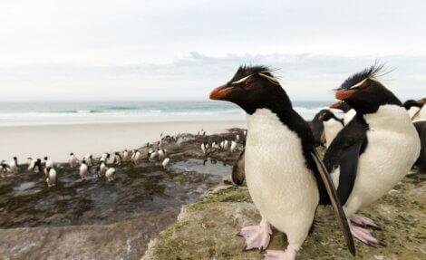 O encontro dos pinguins-de-penacho-amarelo.