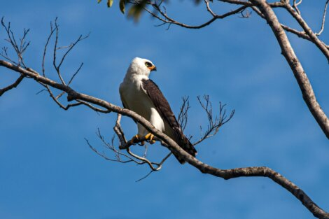 Uma águia-viúva.