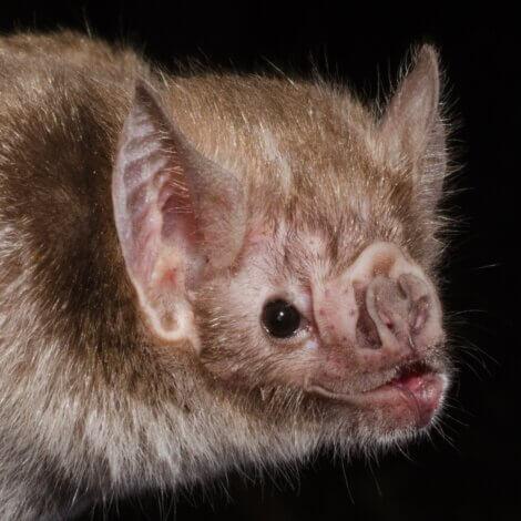 O rosto de um Desmodus rotundus.