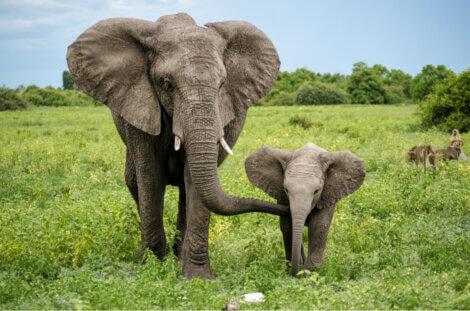 Um exemplo de instinto maternal na natureza.