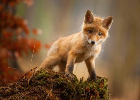 Uma raposa adorável assustada.