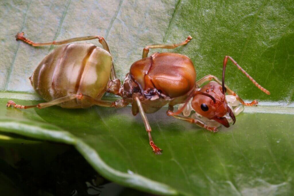 6 curiosidades das formigas-rainhas