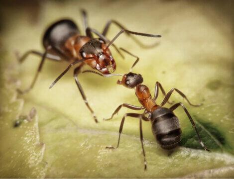Um soldado formiga se comunica com um trabalhador.