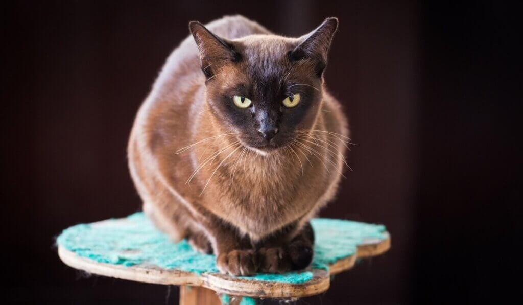 Gato burmês: características e comportamento