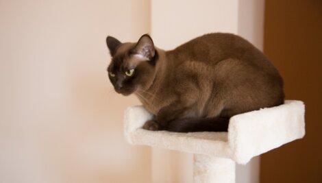 Um gato burmês em uma torre.
