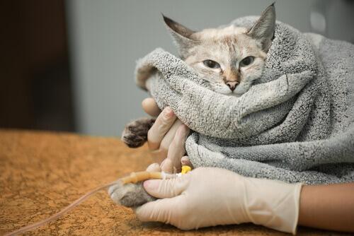 Pancreatite em gatos: causas e sintomas
