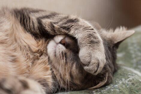 Um gato está escondendo o rosto.