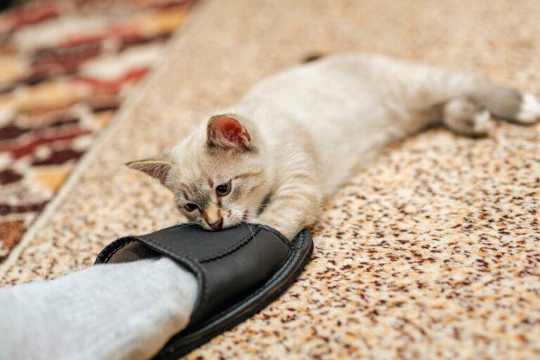 Por que os gatos mordem os tornozelos?