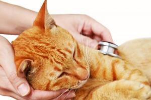 Gato doente sendo observado pelo veterinário.