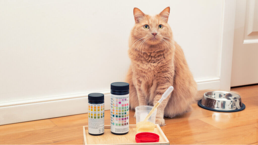 Os gatos e a urolitíase: sintomas, tratamentos e causas.
