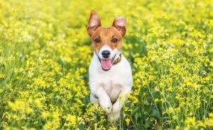 Jack Russell Terrier, Pancho, o cão da TV