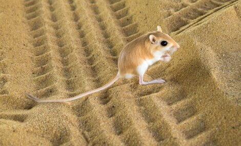 Jaculus jaculus: um dos menores animais do mundo