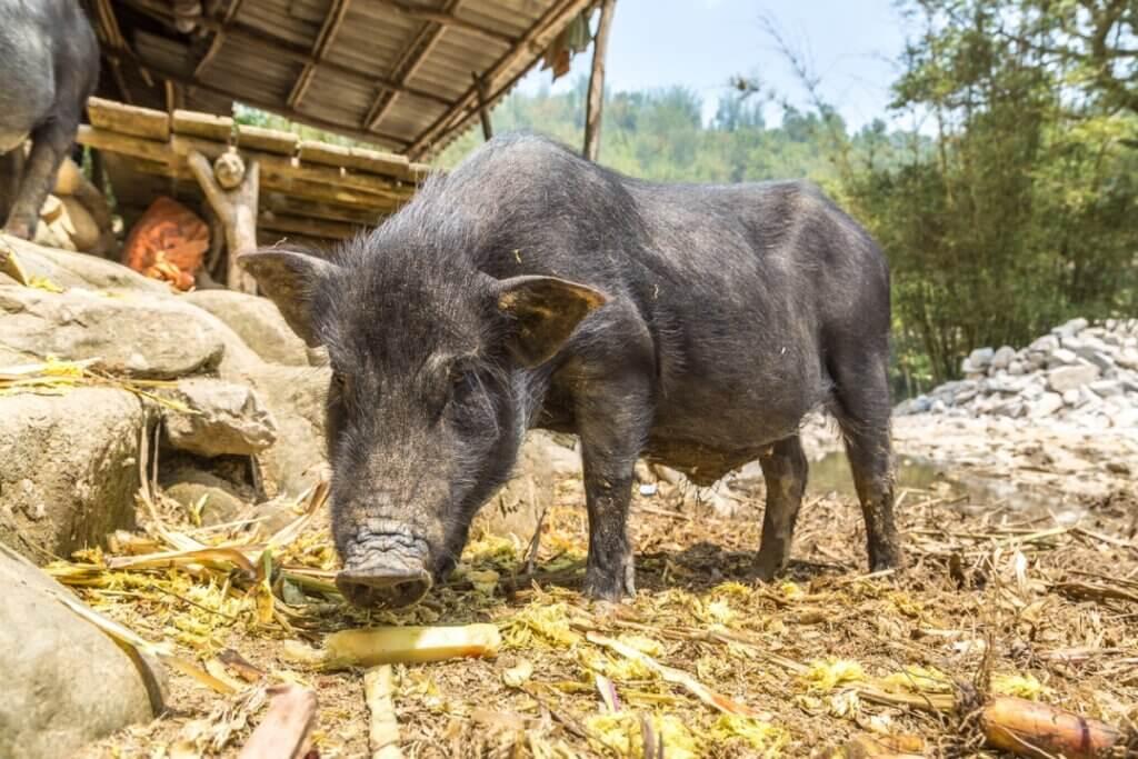 O javaporco espanhol: o que é e como ele afeta o ecossistema?