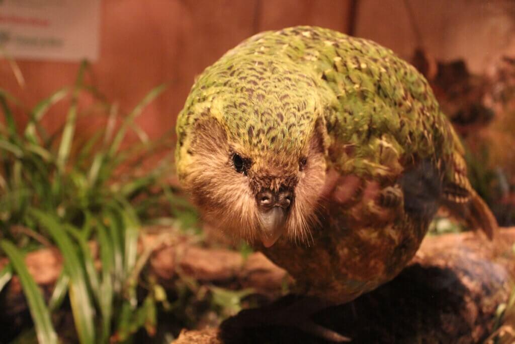 Kakapo: ave do ano de 2020 na Nova Zelândia