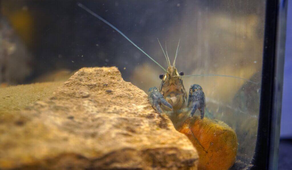 O 'lagostim de mármore', um animal que se clona