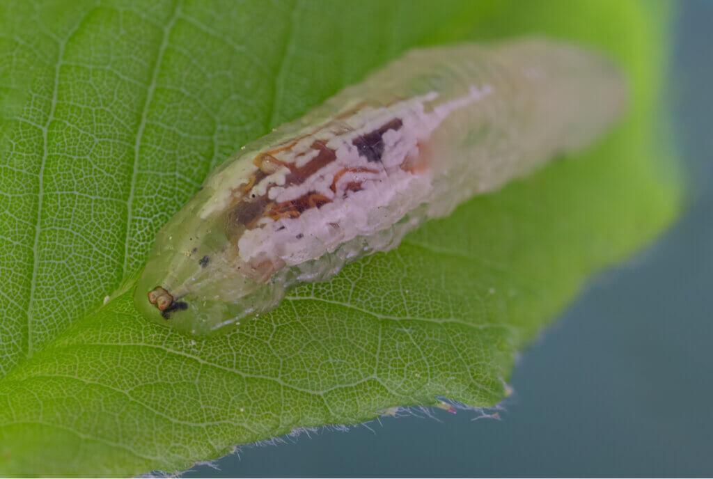 Larvas de sirfídeos: o pesadelo dos pulgões