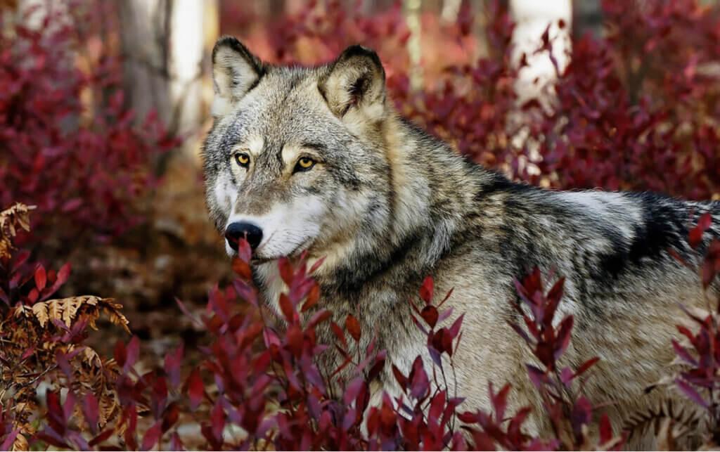Traços comportamentais comuns das espécies de lobo