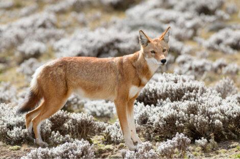 Lobos em risco de extinção: o caso do lobo-etíope.