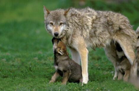 Lobo com seu filhote.