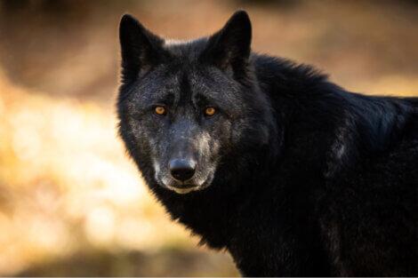 Um lobo preto olha para a câmera.