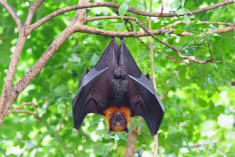 Um morcego frugívoro pendurado.