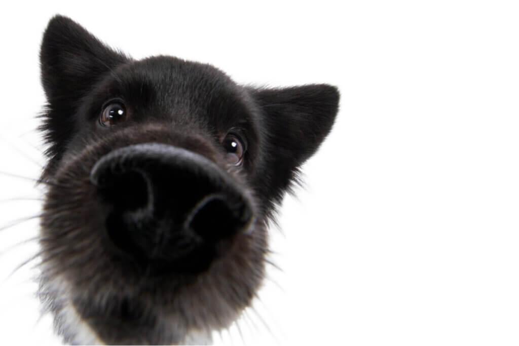 Curiosidades sobre o olfato dos cachorros
