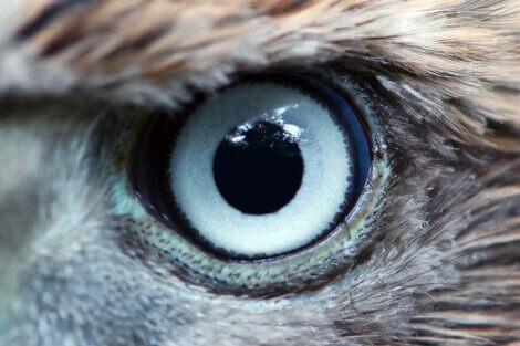 O olho de uma águia.