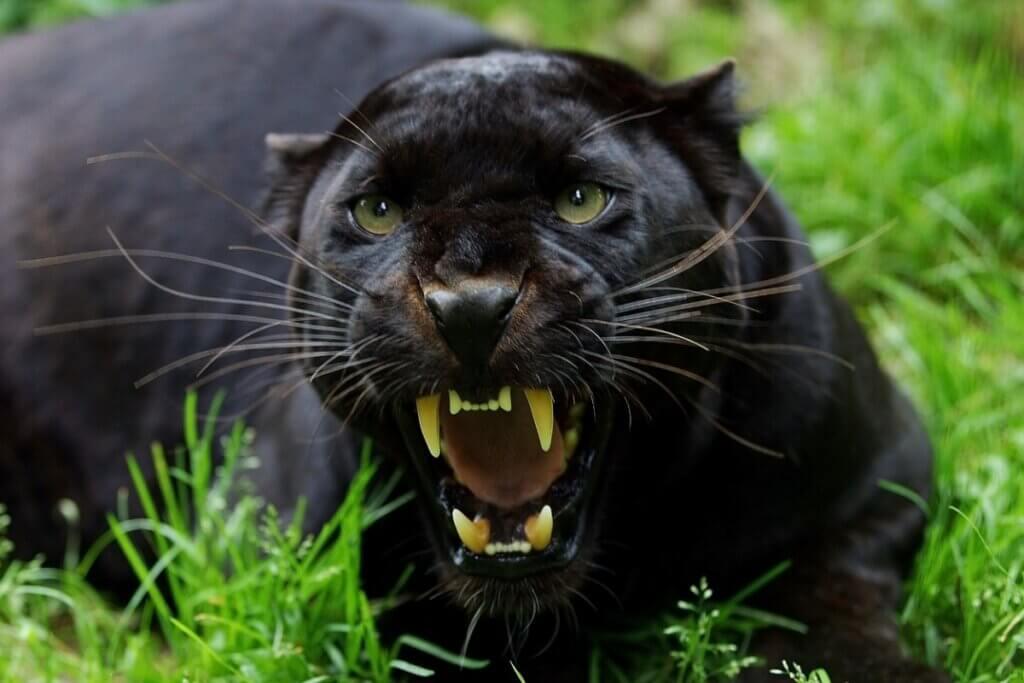 6 animais com melanismo